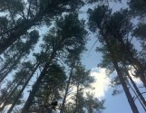 Живописный участок на опушке соснового леса (Мегамаркет Ходосеевка)